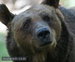 تفسير حلم رؤية الدب أو الدببة في المنام لابن سيرين