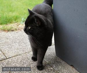 تفسير حلم رؤية القطط والقط الأسود في المنام لابن سيرين