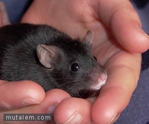 تفسير حلم رؤية الفئران والفأر في المنام لابن سيرين